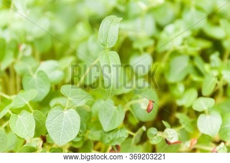 Side View Of Young Green Plants Growing In Natural Sunlight. Young Sprouts , Micro Green Concept.