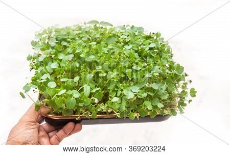 Side View Of Young Green Plants Growing In A Tray Holding By Hand. Young Sprouts , Micro Green Conce