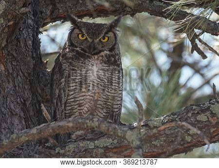 A Male Great Horned Owl, Perched In A Large Tree, Looks At The Camera.