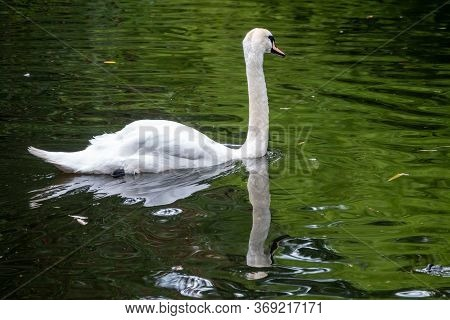A Graceful White Swan Swimming On A Lake With Dark Water. The White Swan Is Reflected In The Water.