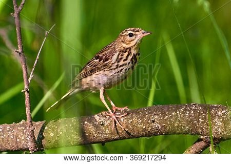 Bird - Tree Pipit ( Anthus Trivialis ) Sitting On On A Dry Felled Tree And Resting. Sunny Summer Mor