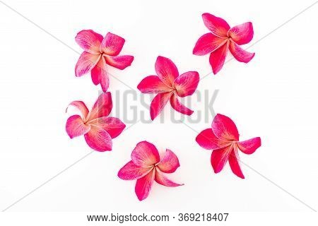 Exotic Frangipani Flowers On A White Background, Pink Plumeria, Tropical Plants, Closeup Of Asian Fl