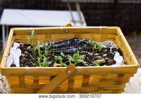 Growing Young Plants In The Basket At The Balcony/ Gardening Concept/ Plant In The Balcony