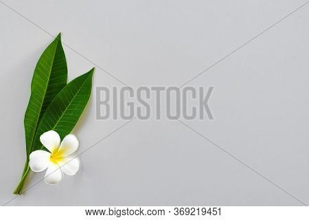 Exotic Frangipani Flowers On A Light Background, White Plumeria, Tropical Plants, Closeup Of Asian F