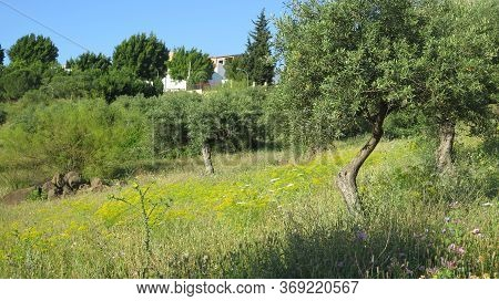 Yellow Spring Flowers In Green Andalusian Meadow In Winter Sunshine