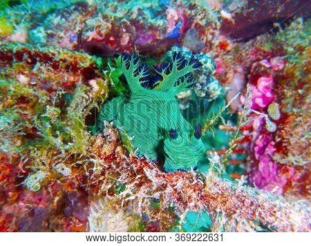 Nembrotha Milleri  Underwater In Mabul Island In Malaysia
