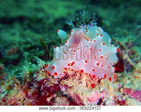 Halgerda Batangas  Underwater In Mabul Island In Malaysia