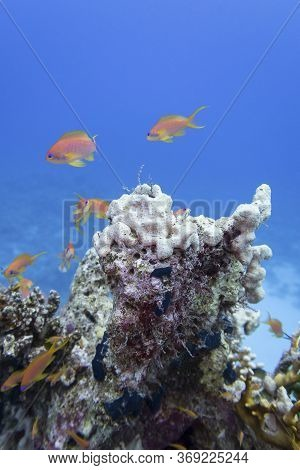 Colorful Coral Reef At The Bottom Of Tropical Sea, White Sea Sponge And Anthias Fishes, Underwater L