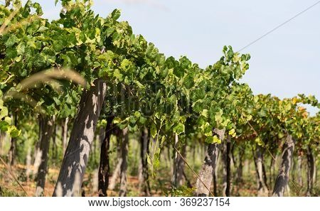 Grape Vines For The Production And Cultivation Of Table Grapes (vitis Spp) In The State Of Rio Grand