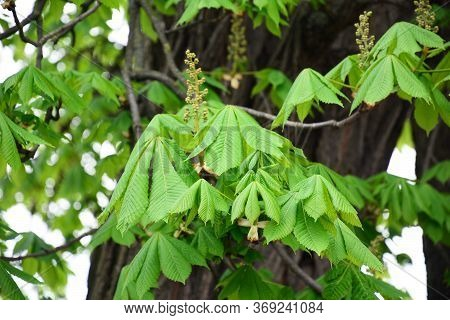 A Close-up On Unblown Horse Chestnut Panicle Inflorescence Buds, Emerging Chestnut Flowers And Young