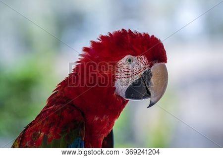 Closeup Face Of Red Macaw Parrot Bird, Green Winged Macaw Bird