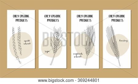 Set Of Flyers With Continuous Line Grain Crops (spelt Wheat, Rye, Barley). Vector Line Art. Perfect