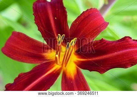 Daylily Flower Close Up - Hemerocallis Flower In The Garden
