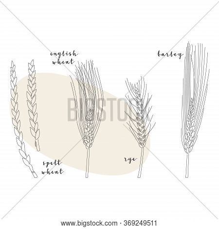 Continuous Line Grain Crop (spelt Wheat, English Wheat, Rye, Barley). Vector Line Art. Perfect For L