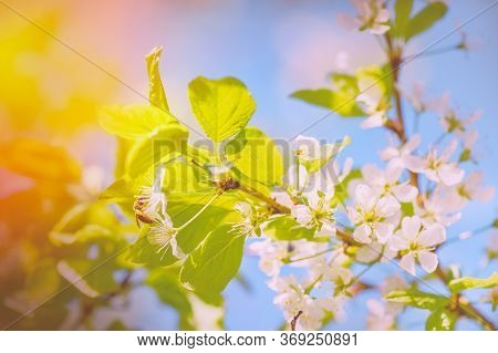 Flower Bloom Nature Concept Honey Bee. Honey Bee Pollinates Blooming Flowers Of Cherry. Bee On Cherr