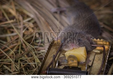 .the Mousetrap With A Gnawed Piece Of Cheese Against The Backdrop Of The Hay In The Shed, Into Which
