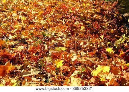 Autumn Leaves On The Ground. Maple, Red, Yellow Foliage. Outdoor. Leaves On The Sun In Park. Backgro