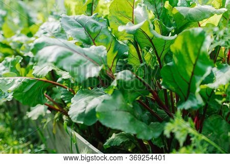 Green Beet Leaves With Red Stems. Beets In The Garden. Young Beets In The Spring.