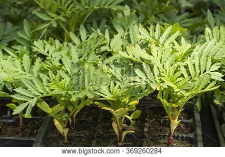 Seasonal Sale Of Seedlings. Flower Sprouts In Pots. Tagetes Durango Tangerine Are Used In Decorative