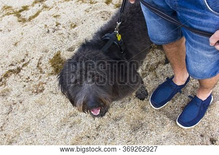 Owner And Water Dog Catalan Sheepdog Dog Walking On The Beach. Looking In The Camera. Domestic Dogs