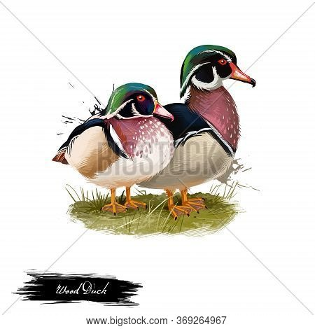 Wood Duck Digital Art Illustration Isolated On White. Carolina Duck Aix Sponsa Species Of Perching F