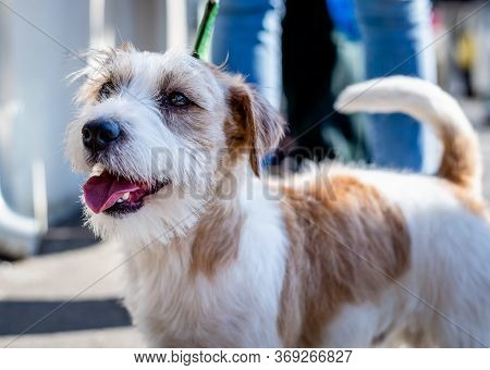 Portrait Of A Dog On Street. Small Dog On Street. Close Up Of Dog. Maltese Pet Dog Animal. Cute Litt