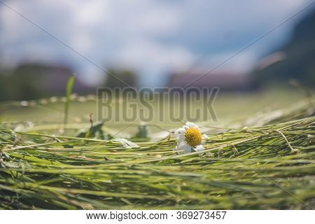 Agriculture Hay Concept: Close Up Of Fresh Moved Hay On A Field