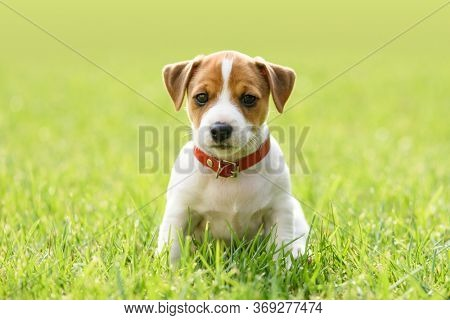 A small white dog puppy breed Jack Russel Terrier with beautiful eyes on green lawn. Dogs and pet photography