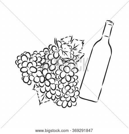 Sketch Illustration Of Bunch Of Grapes, Wine Grapes, Vector Sketch Illustration
