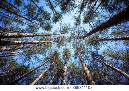 Green Forest Background In A Sunny Day. Looking Up In Pine Forest.