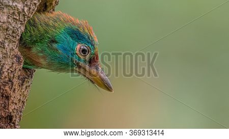 The Asian Barbets Is A Family Of Bird Species, The Megalaimidae, Comprising Two Genera With Thirty S