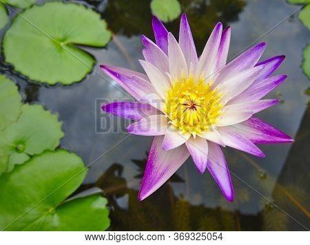 Purple Lotus Petals, Yellow Stamens In Thepurple Lotus Petals, Yellow Stamens In The Lotus Pond Duri