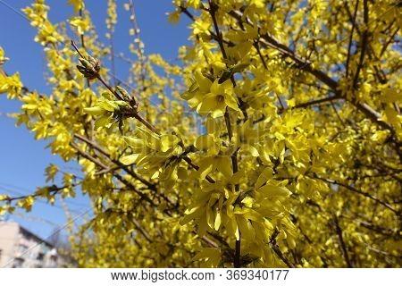 Florescence Of Forsythia Against Blue Sky In April