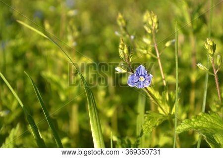 Speedwell Blue Violet Wild Flowers \\\