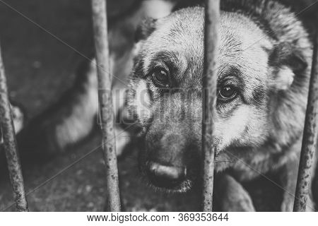 A Big Sad Shepherd In An Old Aviary. Monochrome Photo.