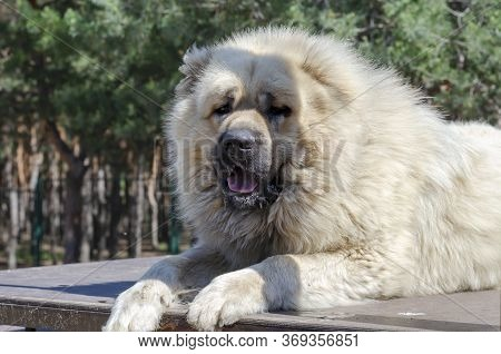 Portrait Of A Caucasian Shepherd Or North Caucasian Wolfhound. A Huge Powerful Dog Lies On A Trainin