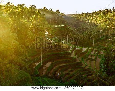 Sunrise On The Rice Terraces Thalanga Near Ubud, Bali. Aerial View Of Rice Terraces. Tourist Destina