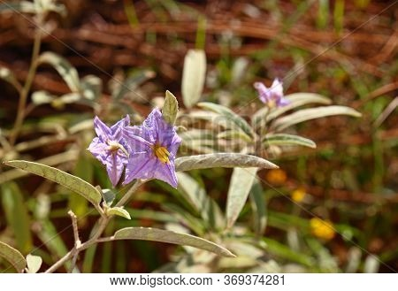 Purple Flowers On A Flowering Plant In The Solanaceae Or Nightshades Family