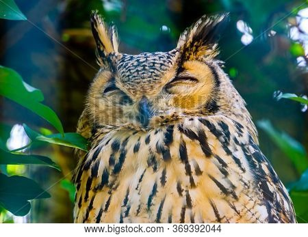 Beautiful Closeup Portrait Of A Bengal Eagle Owl, Tropical Bird Specie From India