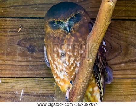 Portrait Of A Tasmanian Spotted Owl, Tropical Bird Specie From Australia And New Zealand