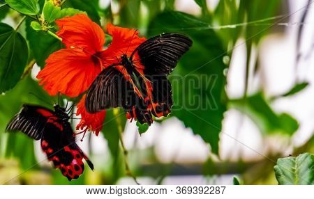 Closeup Of A Red Scarlet Butterfly On A Chinese Hibiscus Flower, Tropical Insect Specie From Asia