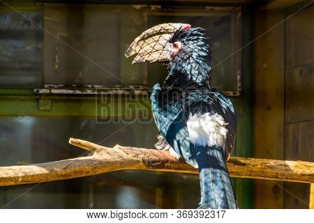 Portrait Of A Trumpeter Hornbill Bird From The Back, Tropical Animal Specie From Africa
