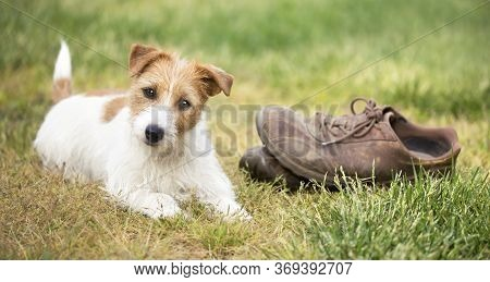 Naughty Cute Happy Jack Russell Terrier Dog Puppy Looking In The Grass With Chewed Shoes. Pet Traini