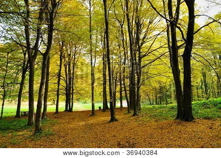 Early Autumn In Forest
