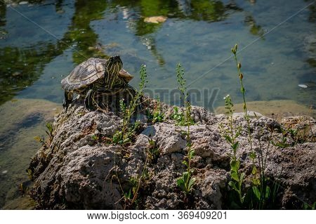 The Pond Slider Turtle (trachemys Scripta) Is Basking In The Sun On A Rock In A Pond. Stock Image