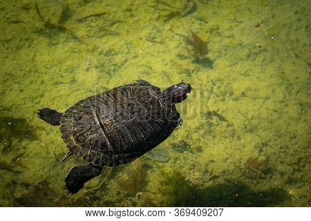 The Pond Slider Turtle (trachemys Scripta) Is Swimming In A Pond On A Sunny Day. Stock Image.