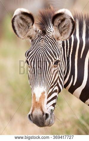 Portrait Head Shot Of An Adult Grevy's Zebra In Samburu Reserve Kenya
