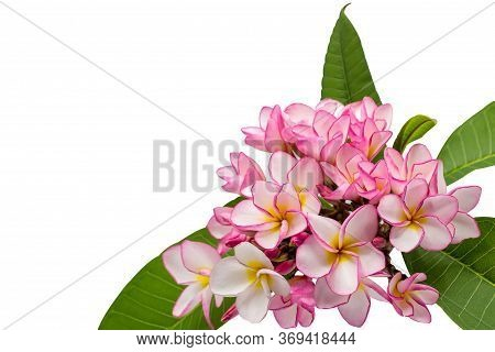 Pink Frangipani Isolated On White Background With Clipping Path,copy Space