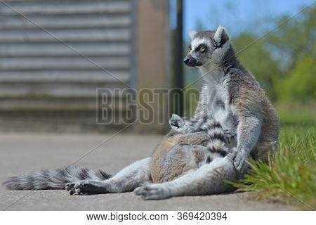 Two Members Of A Lemur Family, The Mother And Baby, Relax Out In The Sun.