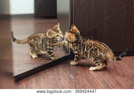 Cute Curious Bengal Kitten Looking Into The Mirror